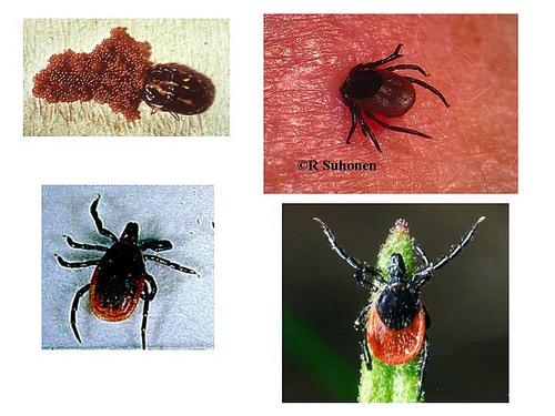 Lyme Disease Bacteria